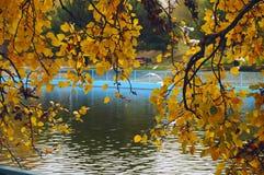 El álamo amarillo del otoño ramifica sobre una charca en un parque de la ciudad imagenes de archivo