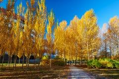 El Álamo de oro y el cielo azul Fotografía de archivo