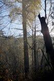 El álamo gigante en colores de la caída sube sobre los árboles en el sol de la mañana Fotos de archivo libres de regalías