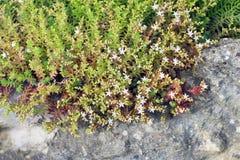 El álbum de Sedum florece en las rocas en el jardín Imágenes de archivo libres de regalías