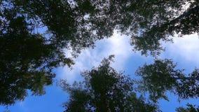 El ángulo bajo de la cámara tiró a través del borrachín, bosque del noroeste pacífico que mostraba árboles del crecimiento alto,  almacen de video
