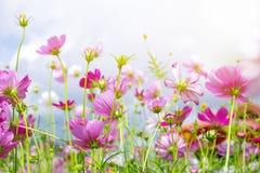 El ángulo bajo de la flor del cosmos y la pequeña abeja cuelgan el polen Imágenes de archivo libres de regalías