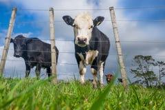 El ángulo bajo POV de la hierba alimentó ganados vacunos en la ladera con f desigual imagen de archivo libre de regalías