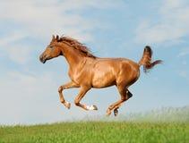 El árabe libera el caballo Foto de archivo libre de regalías