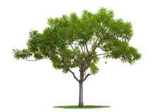 El árbol aisló Imágenes de archivo libres de regalías