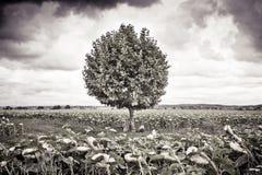 El árbol aislado en los girasoles coloca - imagen entonada Fotos de archivo libres de regalías