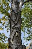 El árbol alba del abedul o de Betula con el tronco, la corteza y las hojas de la belleza en otoño en Zaimov popular parquea Fotografía de archivo