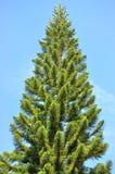 El árbol alto contra el cielo azul Imagen de archivo libre de regalías