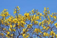 El árbol amarillo de la flor del algodón florece en nombre científico del fondo del azul de cielo: Regium de Cochlospermum, manoj imagenes de archivo