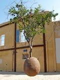 El árbol anaranjado suspendido Yaffo, Israel fotos de archivo libres de regalías