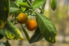 El árbol anaranjado, verde se va, adornado todo con las naranjas maduras Imagenes de archivo