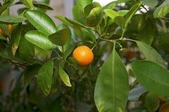 El árbol anaranjado, verde se va, adornado todo con las naranjas maduras Fotografía de archivo libre de regalías