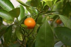 El árbol anaranjado, verde se va, adornado todo con las naranjas maduras Imagen de archivo