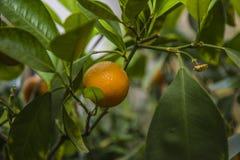 El árbol anaranjado, verde se va, adornado todo con las naranjas maduras Imagen de archivo libre de regalías