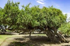 El árbol arqueó por el viento en la playa San Diego, California, los E.E.U.U. Fotos de archivo libres de regalías