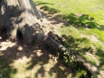 El árbol arraiga Crookham, Northumberland, Reino Unido Fotografía de archivo