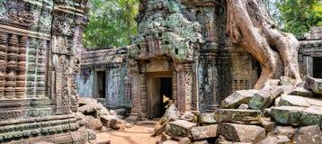 El árbol arraiga sobre el templo hermoso de TA Prohm en Angkor, Siem con referencia a Imagen de archivo