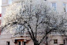 El árbol blanco del flor del concurso de belleza muestra apagado imágenes de archivo libres de regalías