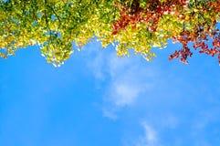 El árbol brillante del otoño se va en las ramas contra el cielo azul Imagen de archivo