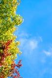 El árbol brillante del otoño se va en las ramas en el fondo del cielo azul Fotos de archivo libres de regalías