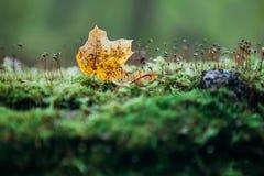 El árbol caido en la tierra y cubierto con el musgo y las hojas verdes blured el fondo Fotografía de archivo