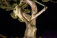 El árbol con la textura del alto contraste (erosión) torció y anudó parecer caras Fotografía de archivo libre de regalías