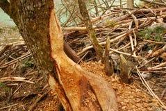 El árbol con las mordeduras del castor al lado del los castores se aloja Imagen de archivo libre de regalías