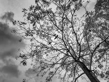 El árbol con muchos cuervo Foto de archivo