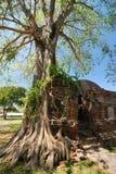 El árbol con ruina vieja Imagenes de archivo