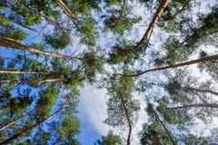 El árbol corona pinos Foto de archivo libre de regalías
