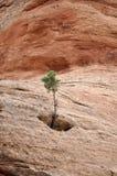 El árbol crece de roca Foto de archivo libre de regalías