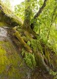 El árbol crece en la tierra pedregosa Imagen de archivo