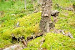 El árbol crece en las piedras en el bosque profundo Fotografía de archivo