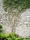 El árbol crece la pared Foto de archivo libre de regalías