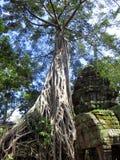 El árbol crece sobre el templo de Angkor Wat del sitio del patrimonio mundial de la UNESCO fuera de Siem Reap Camboya foto de archivo