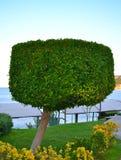 El árbol cuadrado-formado Foto de archivo libre de regalías