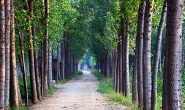 El árbol de álamo alineó el camino Imagen de archivo