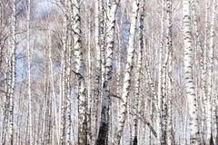 El árbol de abedul Foto de archivo libre de regalías