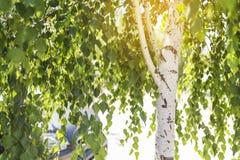 El árbol de abedul cerca del aparcamiento, luz del sol brilla a través de las ramas, coche en el fondo, espacio para el texto Fotografía de archivo