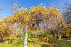 El árbol de abedul con amarillo se va en un jardín Imagen de archivo