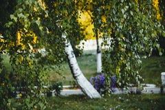 El árbol de abedul con amarillo y verde se va en otoño, con la pequeña profundidad del campo Fotos de archivo