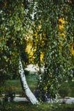 El árbol de abedul con amarillo y verde se va en otoño, con la pequeña profundidad del campo Fotos de archivo libres de regalías
