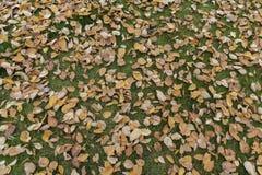 El árbol de abedul de Brown se va el otoño de la hierba verde Imagen de archivo
