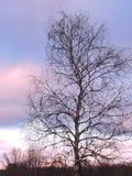 El árbol de abedul en puesta del sol colorea el fondo del cielo Foto de archivo