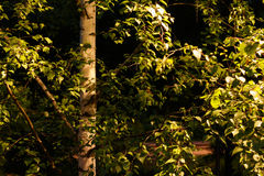 El árbol de abedul es encendido por una linterna en el parque Foto de archivo