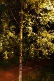 El árbol de abedul es encendido por una linterna en el parque Imagen de archivo