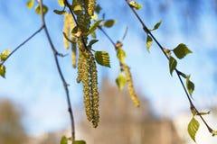 El árbol de abedul florece, el comenzar de la nueva vida Fotografía de archivo