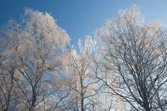 El árbol de abedul de la escarcha remata invierno Fotografía de archivo libre de regalías