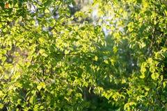 El árbol de abedul de la primavera sale del fondo Foto de archivo