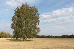 El árbol de abedul que se coloca en un amarillo siega abajo el campo en otoño Imágenes de archivo libres de regalías
